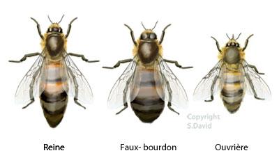 castes abeilles