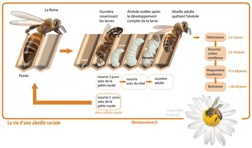 vie abeille sociale