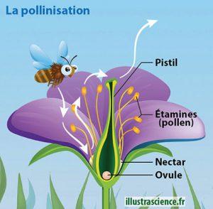 pollinisation schéma